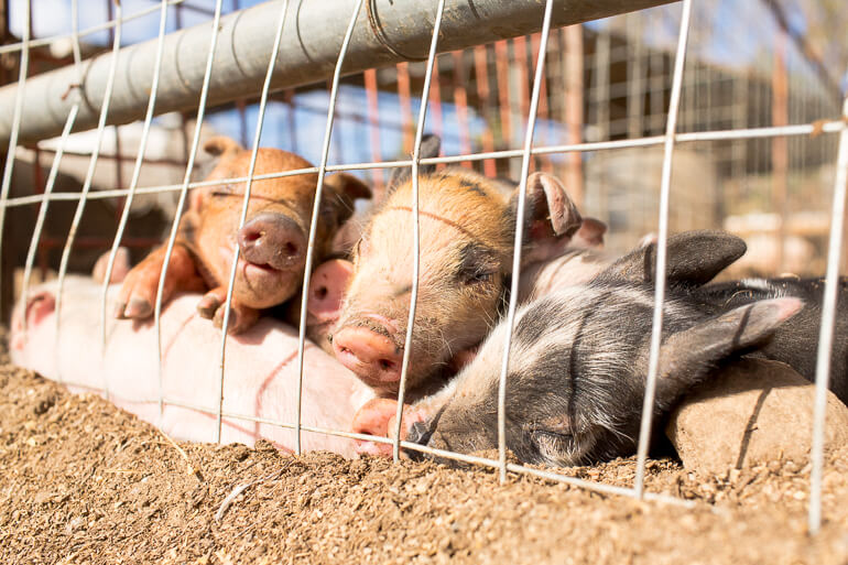 piglets-farm-yucca-valley