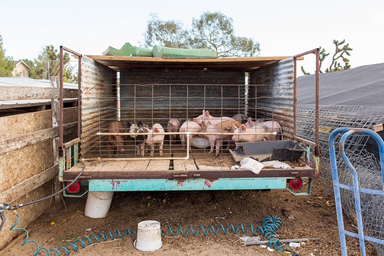 JF-Organic-Farm-pigs-trailer