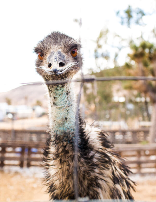 emu-yucca-valley-farm