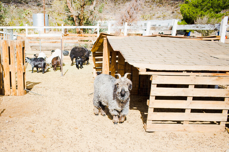 goat-yucca-valley-farm