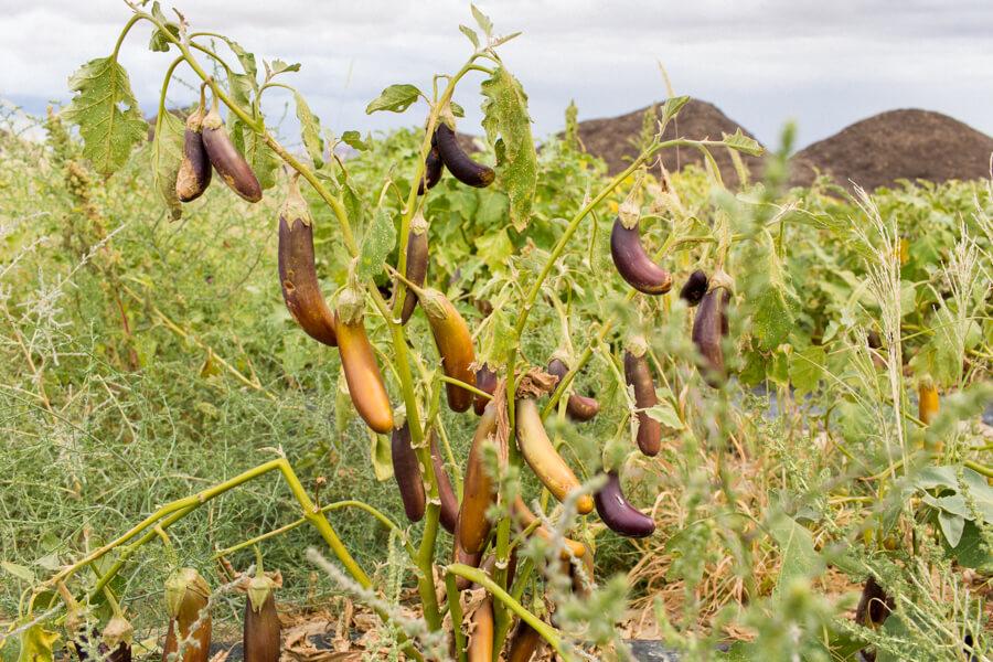 burned-eggplant-organic-farm