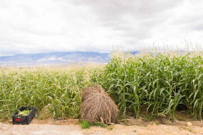 corn-california-organic-heirloom