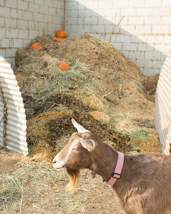 compost-goat-hay-waste-farm