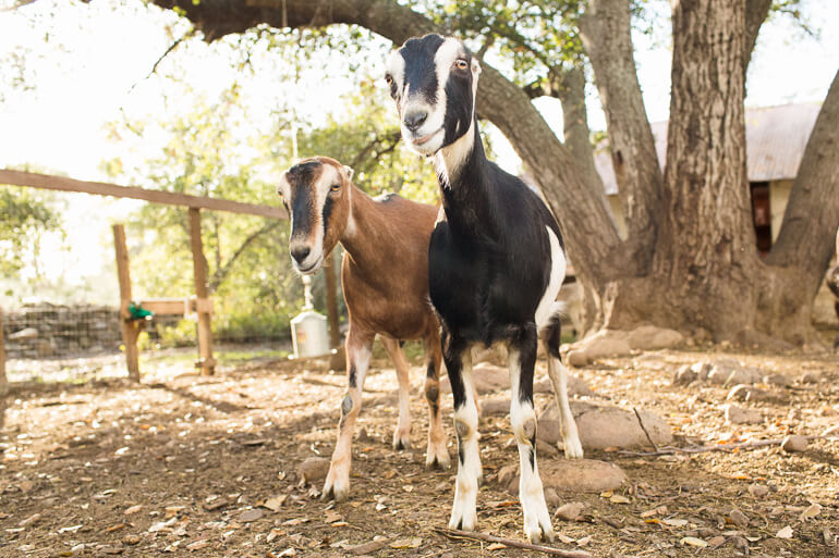 goats-thacher-ojai-urban-farm