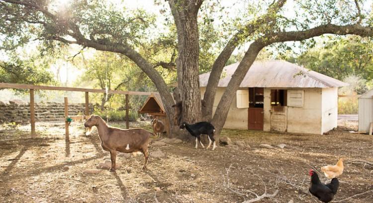 goats-chicken-urban-farm-ojai-thacher