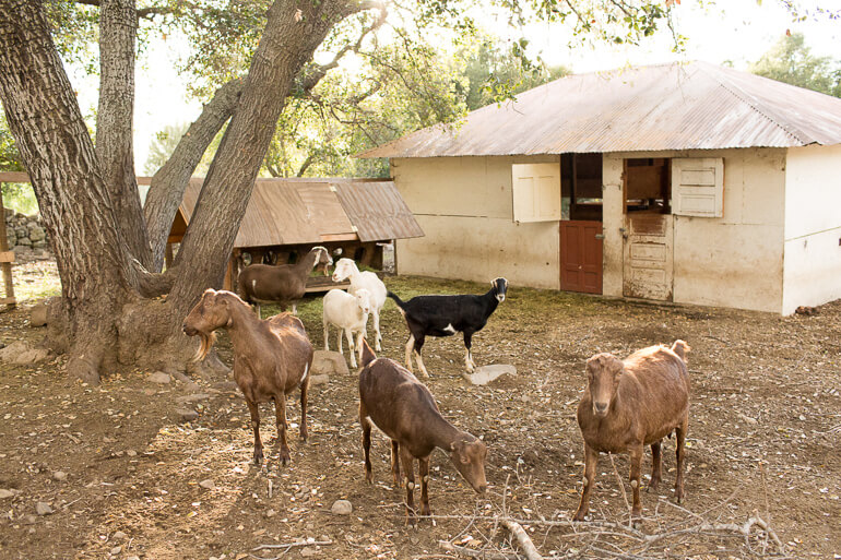 goats-urban-farm-ojai-thacher-house