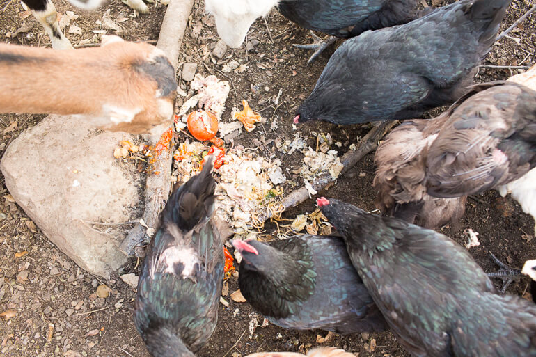 urban-farm-ojai-california-chickens-goats