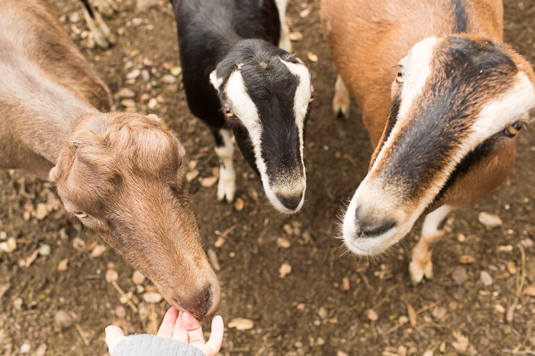 hand-goats-farm-ojai-dirt