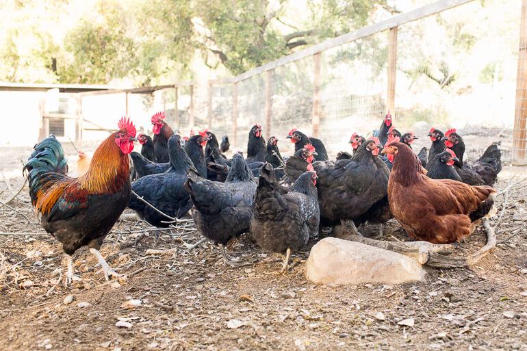 chickens-rooster-urban-farm-ojai-california