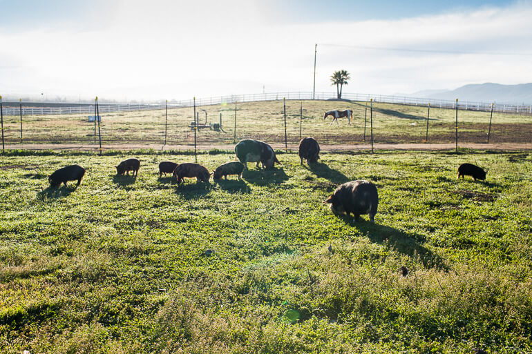pigs-pasture-farm-grass
