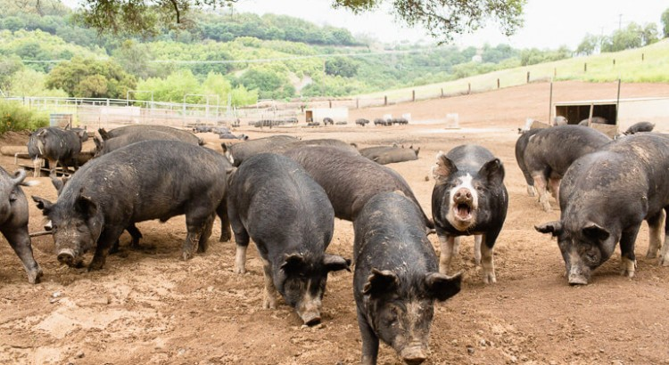 california-pig-ranch-humane-farming-berkshire