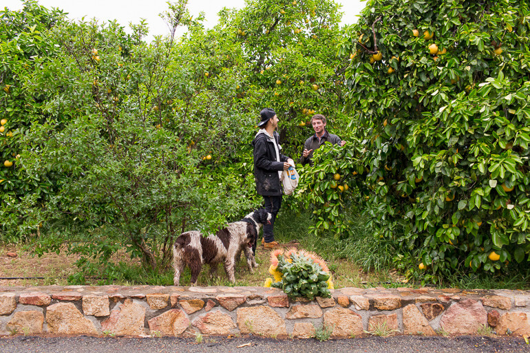 grapefruit-trees-protea-flowers-dogs
