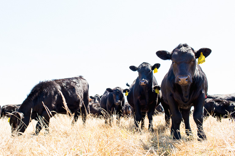 cattle-grass-fed-temple-creek-ranch-organic