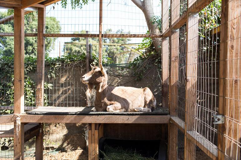 goat-urban-garden-farm-los-angeles