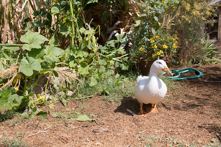 ducks-urban-garden-farm-los-angeles
